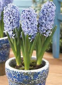 How to care for potted hyacinths the boydita flowers delivered blog flowers delivered by - Planting hyacinths pots ...
