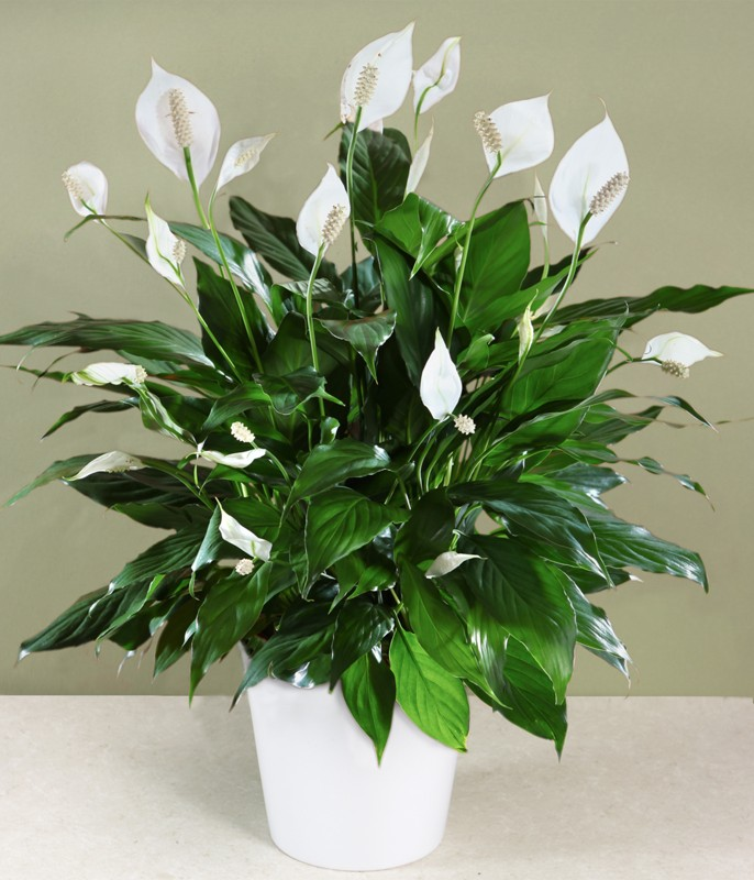 Picture of Live Spath Peace Lily aka Spathiphyllum wallisii Foliage Plant Fit 6in Pot