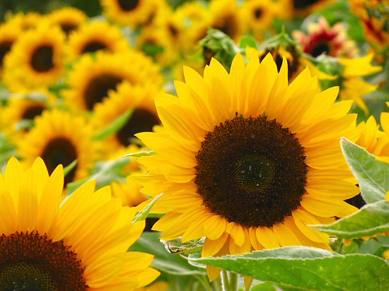 Boydita Flowers Delivered Flower Doctor Sunflowers